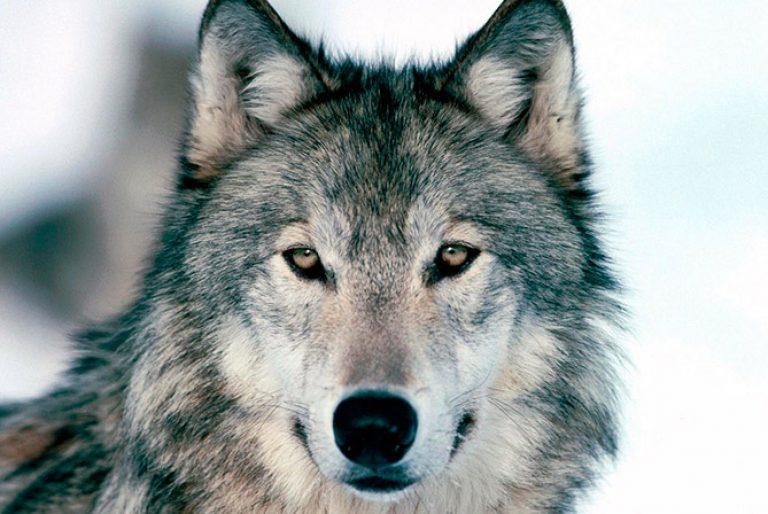 El lobo conquista el Duero. La Vanguardia. 19/05/2013